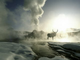Sunrise Silhouette of Elk at Castle Geyser, Yellowstone National Park, Wyoming, USA Fotografisk tryk af Jim Zuckerman