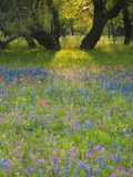 Dusk Through Oak Trees, Field of Texas Blue Bonnets and Phlox, Devine, Texas, USA Photographic Print by Darrell Gulin