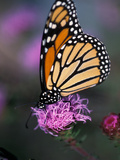 Monarch Butterfly on Northern Blazing Star Flower, New Hampshire, USA Photographic Print by Jerry & Marcy Monkman