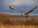 Sandhill Crane Flying at Bosque Del Apache, New Mexico, USA Photographic Print by Diane Johnson