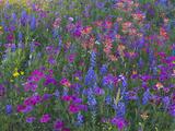 Phlox, Blue Bonnets and Indian Paintbrush Near Brenham, Texas, USA Fotografisk tryk af Darrell Gulin