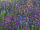 Phlox, Blue Bonnets and Indian Paintbrush Near Brenham, Texas, USA Stampa fotografica di Gulin, Darrell