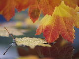 Close-up of Autumn Vine Maple Leaves Reflecting in Pool of Water, Bellingham, Washington, USA Photographic Print by Steve Satushek