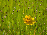 Grass Heads and Lone Coreopsis Flower Near Industry, Texas, USA Photographic Print by Darrell Gulin