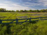 Texas Blue Bonnets, Vetch in Meadow Near Brenham, Texas, USA Stampa fotografica di Gulin, Darrell