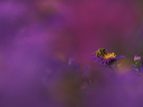 Honeybee Pollinating New England Aster Blossom, Michigan, USA Photographic Print by Mark Carlson