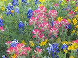 Blue Bonnets, Arnica, and Indian Paintbrush, Near Cuero, Texas, USA Photographic Print by Darrell Gulin