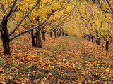 Apple Orchard in Autumn, Oroville, Washington, USA Photographic Print by Jamie & Judy Wild