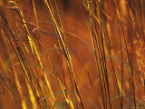 Close-up of Prairie Grasses in Sunlight, Minnesota, USA Photographic Print by Richard Hamilton Smith