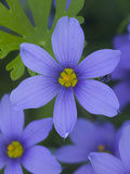 Blue Eyed Grass Near Devine, Texas, USA Photographic Print by Darrell Gulin