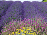 Lavender Field, Sequim, Washington, USA Fotografie-Druck von Charles Sleicher