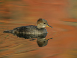 Close-up of Female Hooded Merganser in Water, Cleveland, Ohio, USA Photographic Print by Arthur Morris