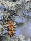 Morning Light on Balsam Fir Cone with Frost, Michigan, USA Photographic Print by Mark Carlson