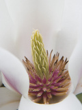 Magnolia Tree Flower Close-up in the Japanese Gardens at the Washington Park Arboretum, Seattle Photographic Print by Dennis Flaherty