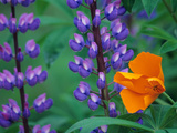 Lupine with Orange Poppy, Mt. Baker Snoqualmie National Forest, Washington, USA Photographic Print by Jamie &amp; Judy Wild
