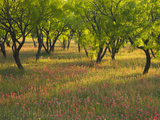 Indian Paint Brush and Young Trees, Devine Area, Texas, USA Photographic Print by Darrell Gulin