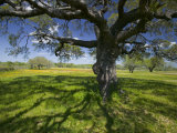 Oak Trees and Wildflowers Bloom Near Cuero, Texas, USA Fotografie-Druck von Darrell Gulin