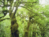 Moss Growing from Trees in a Rainforest, Olympic National Park, Washington, USA Photographic Print by Christopher Talbot Frank