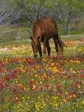 Quarter Horse in Wildflower Field Near Cuero, Texas, USA Photographie par Darrell Gulin
