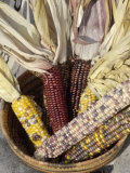 Multicolored Corn, a Native American Staple Crop, in an Indian Basket Photographic Print