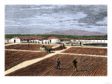 Coffee Berries Spread in the Plantation Yard to Ferment and Dry, c.1800 Giclee Print