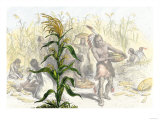 Corn, or Maize, Staple Food of the Native Americans Giclee Print