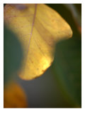 Golden Leaf Photo by Nicole Katano