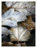 Fallen Leaves II Prints by Nicole Katano