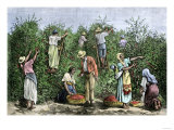Native Workers Harvesting Coffee in Costa Rica, c.1800 Giclee Print
