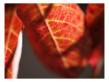 Crimson Leaf Prints by Nicole Katano