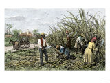 Black Slaves Harvesting Sugar Cane on a Plantation in the U.S. South, c.1800 Premium Giclee Print
