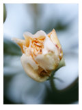 Vanilla Rose IV Prints by Nicole Katano