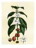 Coffee Tree Leaves, Flowers, and Fruit Reproduction proc&#233;d&#233; gicl&#233;e