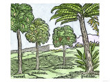 Bananas and Other Fruit Trees of Hispaniola, from a Sketch Published in 1572 Giclee Print