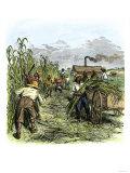African American Slaves Harvesting Cane on a Sugar Plantation Giclee Print