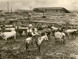 Cowboy Herding Cattle in the Railroad Stockyards at Kansas City Missouri 1890 Photographic Print