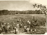 African-American Field-Hands Picking Cotton in the Deep South, c.1890 Photographic Print