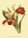 Orchid Splendor I Prints