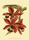 Orchid Splendor II Print