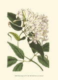 Blossoming Vine IV Prints by Sydenham Teast Edwards