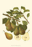 Pear Varieties III Posters