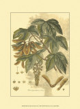 John Miller (Johann Sebastien Mueller) - Antique Sycamore Tree Plakát