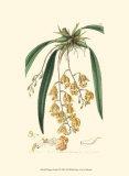 Elegant Orchid I Poster von Sydenham Teast Edwards