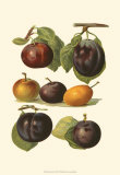 Plum Varieties II Prints by John Wright