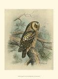Tengmalm's Owl Print by F.w. Frohawk