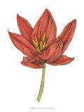 Tulip Beauty IV Print by Jennifer Goldberger