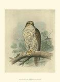 Iceland Falcon Art by F.w. Frohawk