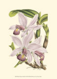 Delicate Orchid I Posters