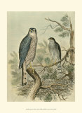 Sparrow Hawk Poster by F.w. Frohawk