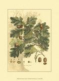 Antique Oak Tree Poster by  John Miller (Johann Sebastien Mueller)